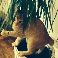 Oberyn (Tigre)